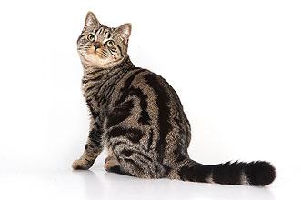 мраморная шотландская кошка фото