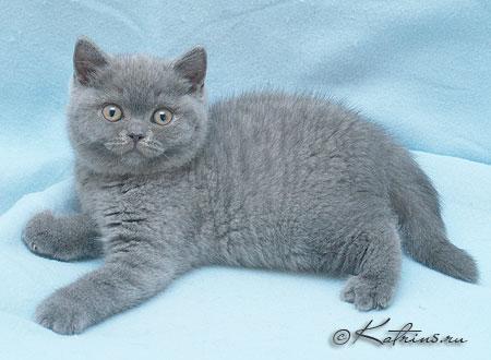 британские голубые фото кошки