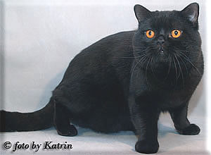 Katrin's Egor, british cat black